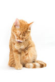 Thai yellow cat Royalty Free Stock Photos