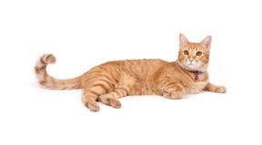 Thai yellow cat Stock Image