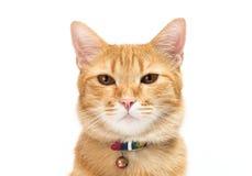 Thai yellow cat Royalty Free Stock Image
