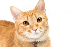 Thai yellow cat Royalty Free Stock Photography