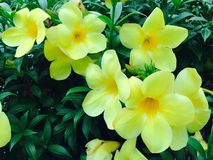 Thai yellow flower Royalty Free Stock Photo