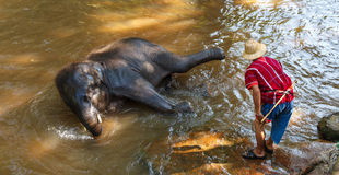 Thai young elephant was take a bath with mahout Stock Photography