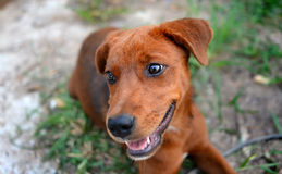 Thai young happy dog Royalty Free Stock Images