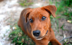 Thai young happy dog Stock Images