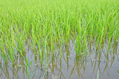 Thai young rice field Stock Images