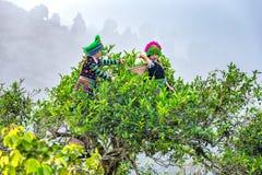 Thai young women tea pickers on tea trees 300 years old Stock Photo