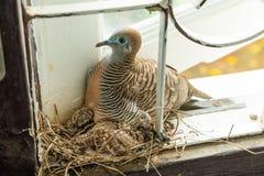 Thai zebra dove broods her chicks in her nest stock images