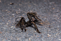 Thai zebra tarantula Royalty Free Stock Photo