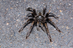 Thai zebra tarantula Stock Images