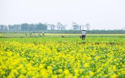THAIBINH,越南- 2017年12月01日:工作在黄色花田改善的农夫 太平市是在的一个沿海省 免版税库存图片