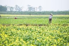 THAIBINH,越南- 2017年12月01日:工作在黄色花田改善的农夫 太平市是在的一个沿海省 库存图片