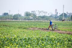 THAIBINH,越南- 2017年12月01日:工作在黄色花田改善的农夫 太平市是在的一个沿海省 图库摄影