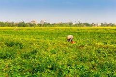 THAIBINH,越南- 2014年12月31日-一粒未认出的妇女采摘豆植物待售 库存图片