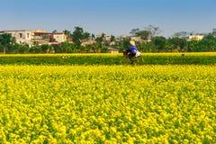 THAIBINH,越南- 2014年12月31日-与好的开花的Wintercress的农村风景调遣 库存照片