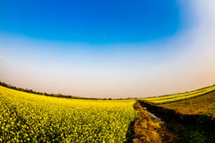 THAIBINH,越南- 2014年12月31日-与好的开花的Wintercress的农村风景调遣 免版税图库摄影
