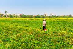 THAIBINH,越南- 2014年12月31日-与好的开花的Wintercress的农村风景调遣 免版税库存照片