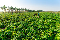 THAIBINH, VIETNAM - 31 décembre 2014 - habitants locaux recueillant des haricots sur les champs de marée Photos libres de droits