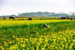 THAIBINH, VIETNAM - 31 décembre 2014 - paysage rural avec Wintercress de floraison gentil met en place Image libre de droits