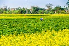 THAIBINH, VIETNAM - 31 décembre 2014 - paysage rural avec Wintercress de floraison gentil met en place Photographie stock libre de droits