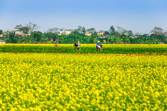 THAIBINH, VIETNAM - 31 de diciembre de 2014 - paisaje rural con Wintercress floreciente agradable coloca Imagen de archivo