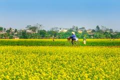 THAIBINH, VIETNAM - 31 de diciembre de 2014 - paisaje rural con Wintercress floreciente agradable coloca Fotos de archivo