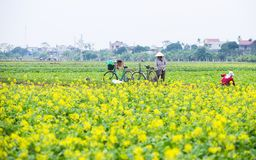 THAIBINH, VIETNAM - Dec 01, 2017 : Farmers working on a yellow flower field improvements. Thai Binh is a coastal province in the. Farmers working on a yellow royalty free stock photo