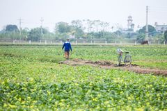 THAIBINH, VIETNAM - Dec 01, 2017 : Farmers working on a yellow flower field improvements. Thai Binh is a coastal province in the. Farmers working on a yellow stock images