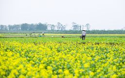 THAIBINH, VIETNAM - 01 Dec, 2017: Landbouwers die aan verbeteringen van een de gele bloemgebied werken Thaise Binh is een kustpro royalty-vrije stock afbeelding