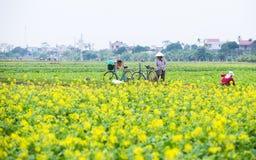 THAIBINH VIETNAM - December 01, 2017: Bönder som arbetar på förbättringar för ett gulingblommafält Thai Binh är ett kust- landska Royaltyfri Foto