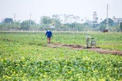 THAIBINH VIETNAM - December 01, 2017: Bönder som arbetar på förbättringar för ett gulingblommafält Thai Binh är ett kust- landska Arkivbilder