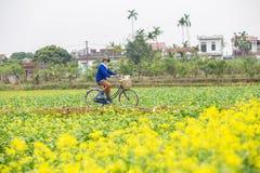 THAIBINH VIETNAM - December 01, 2017: Bönder som arbetar på förbättringar för ett gulingblommafält Thai Binh är ett kust- landska Arkivfoton
