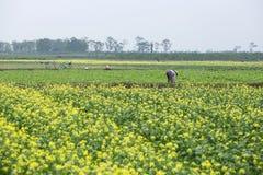 THAIBINH VIETNAM - December 01, 2017: Bönder som arbetar på förbättringar för ett gulingblommafält Thai Binh är ett kust- landska Royaltyfria Bilder