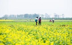 THAIBINH VIETNAM - December 01, 2017: Bönder som arbetar på förbättringar för ett gulingblommafält Thai Binh är ett kust- landska Royaltyfri Fotografi