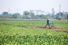 THAIBINH VIETNAM - December 01, 2017: Bönder som arbetar på förbättringar för ett gulingblommafält Thai Binh är ett kust- landska Arkivbild