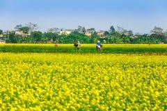 THAIBINH, VIETNAM - DECEMBER 31, 2014 - Landelijk landschap met aardige bloeiende Wintercress-gebieden Stock Afbeelding