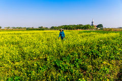 THAIBINH, VIETNAM - DECEMBER 31, 2014 - Local inhabitants gathering beans on tidal fields. Royalty Free Stock Photo
