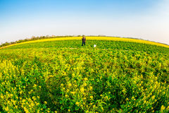 THAIBINH, VIETNAM - DECEMBER 31, 2014 - Local landscape with very nice blooming Wintercress fields. There are many tidal fields in this location with nice royalty free stock photos