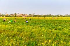 THAIBINH VIETNAM - DECEMBER 31, 2014 - lokala invånare som samlar bönor på tidvattens- fält Arkivfoton