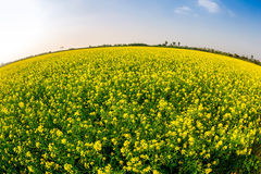 THAIBINH, VIETNAM - DECEMBER 31, 2014 - Rural landscape with nice blooming Wintercress fields. There are many tidal fields in this location with nice vegetables royalty free stock photos