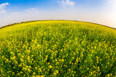 THAIBINH, VIETNAM - DECEMBER 31, 2014 - Rural landscape with nice blooming Wintercress fields. There are many tidal fields in this location with nice vegetables stock photo