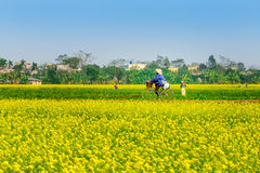 THAIBINH, VIETNAM - DECEMBER 31, 2014 - Rural landscape with nice blooming Wintercress fields. There are many tidal fields in this location with nice vegetables stock photos
