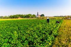 THAIBINH, VIETNAM - 31 dicembre 2014 - abitanti locali che riuniscono i fagioli sui campi di marea Immagine Stock