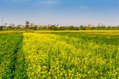 THAIBINH, VIETNAM - 31 dicembre 2014 - paesaggio rurale con Wintercress di fioritura piacevole sistema Immagine Stock Libera da Diritti