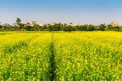THAIBINH, VIETNAM - 31 dicembre 2014 - paesaggio rurale con Wintercress di fioritura piacevole sistema Fotografie Stock Libere da Diritti
