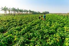 THAIBINH, VIETNAME - 31 de dezembro de 2014 - habitantes locais que recolhem feijões em campos maré Fotos de Stock Royalty Free