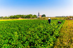 THAIBINH, VIETNAME - 31 de dezembro de 2014 - habitantes locais que recolhem feijões em campos maré Imagem de Stock