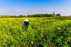 THAIBINH, VIETNAME - 31 de dezembro de 2014 - habitantes locais que recolhem feijões em campos maré Fotografia de Stock