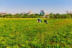 THAIBINH, VIETNAME - 31 de dezembro de 2014 - habitantes locais que recolhem feijões em campos maré Foto de Stock Royalty Free