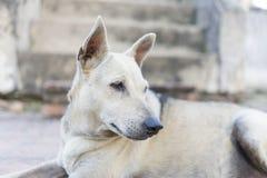 Thaidog fotografie stock