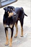 Thaidog Stock Fotografie